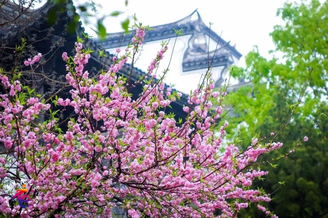 """三月的台儿庄古城私藏了京杭大运河畔的""""最美春天"""""""