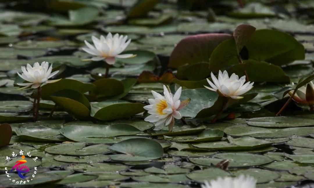 初夏台儿庄运河湿地慵懒睡莲开,婀娜多姿令人醉