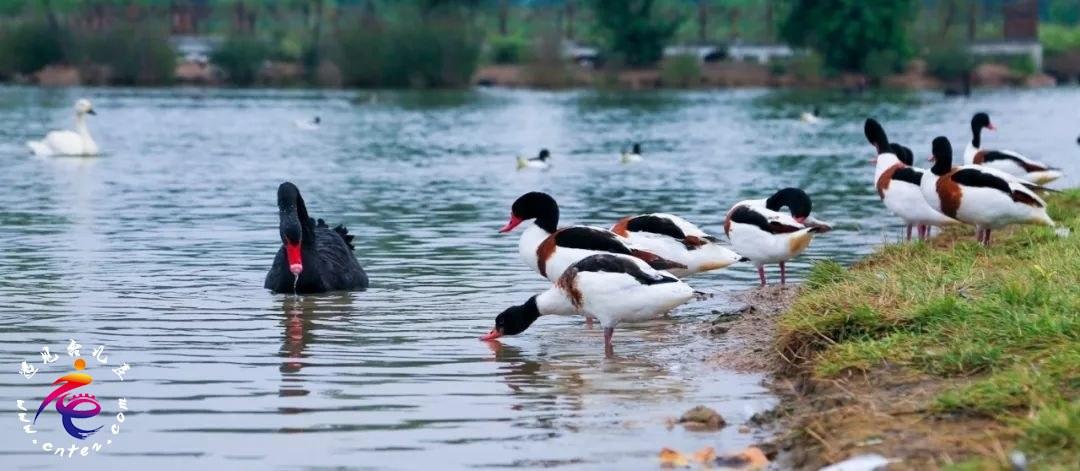 这个周末打卡双龙湖观鸟园丨赏美景、看天鹅,亲近小动物……