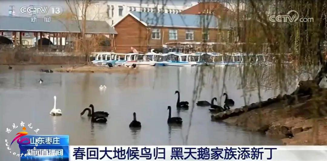 CCTV13【新闻直播间】春回大地候鸟归 黑天鹅家族添新丁