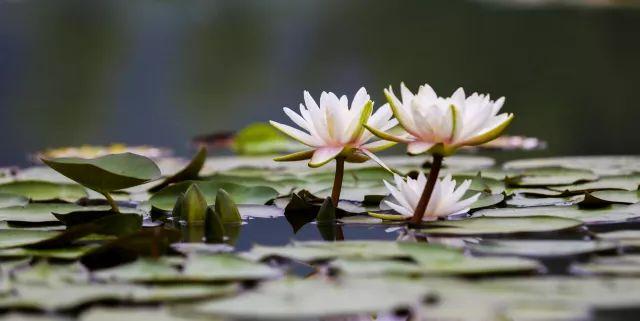 """初夏的""""一莲幽梦""""!台儿庄运河湿地睡莲竞相绽放,婀娜多姿惹人醉!"""