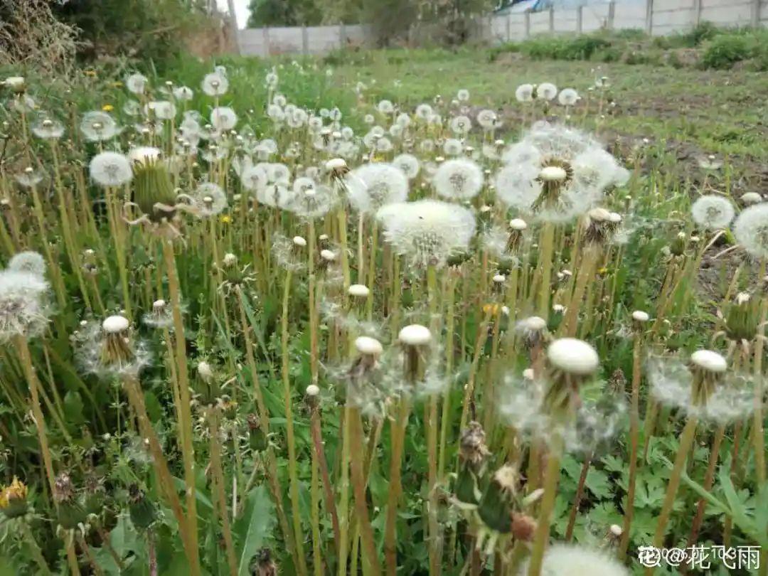 农村路边的野草,带城里变网红花,1棵就要20块!