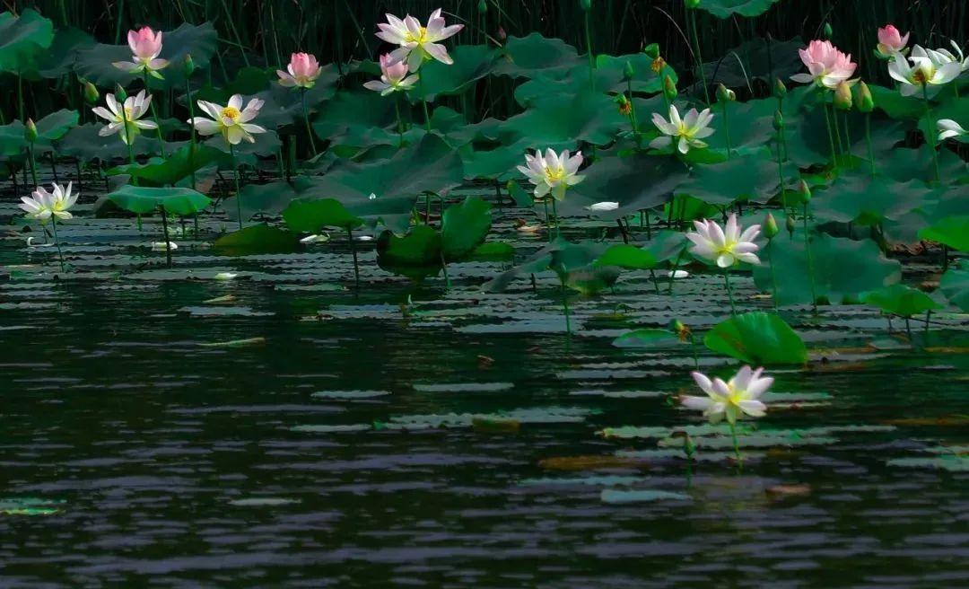 台儿庄运河湿地荷花初绽迎端午,十里荷花廊美景醉游人!